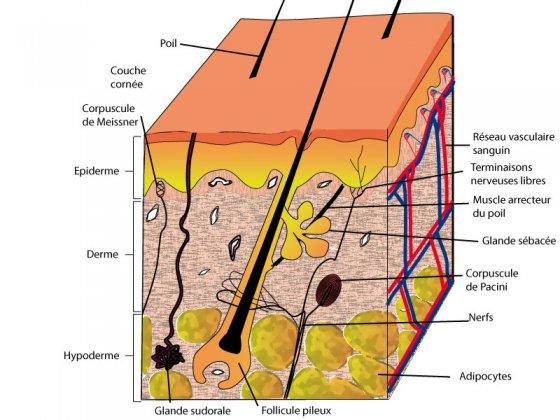 la-peau-derme-épiderme-acné-rides-soins-du-visage-zenitude-42